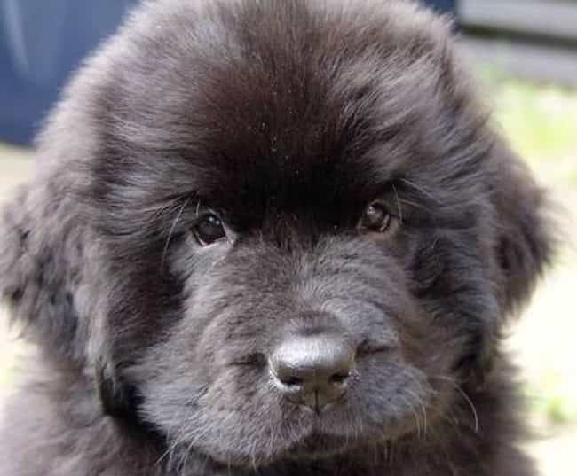 Fluffy Puppy Is Listed Or Ranked 1 On The List Cutest Newfoundland Pictures