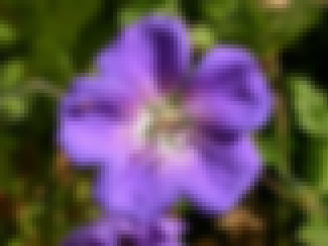 Geranium is listed (or ranked) 3 on the list The Best Essential Oils for Kidney Stones
