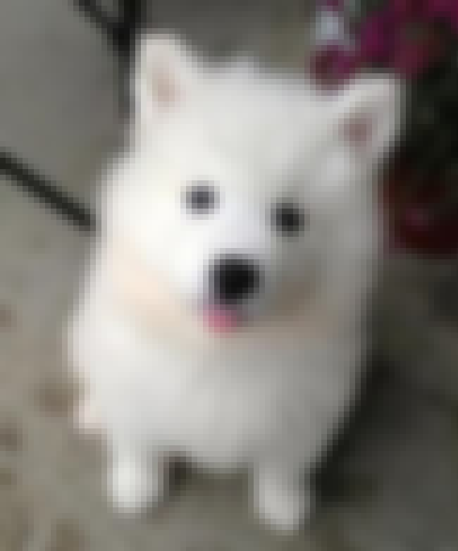 Derp is listed (or ranked) 2 on the list The Cutest Samoyed Pictures