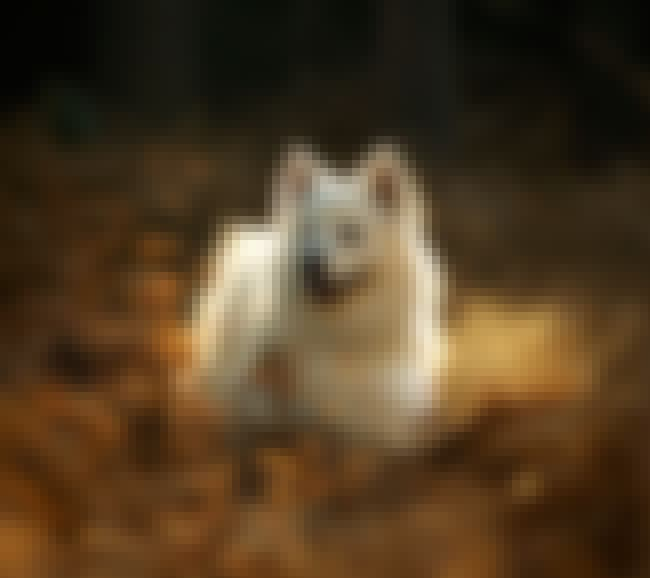 Samoyed in the Forest is listed (or ranked) 4 on the list The Cutest Samoyed Pictures