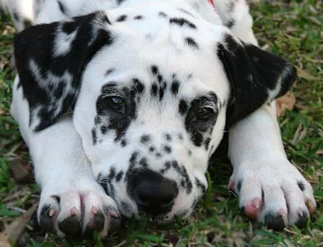 Dalmatian Pup Lounging in the ... is listed (or ranked) 1 on the list The Cutest Dalmatian Pictures
