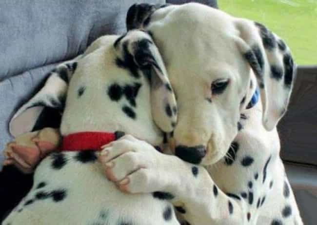 Dalmatian Pups Hugging One Ano... is listed (or ranked) 3 on the list The Cutest Dalmatian Pictures