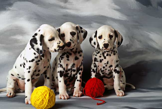 Pups With String is listed (or ranked) 2 on the list The Cutest Dalmatian Pictures