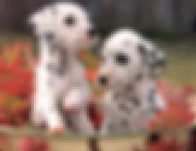 Pups in a Bucket of Leaves is listed (or ranked) 4 on the list The Cutest Dalmatian Pictures