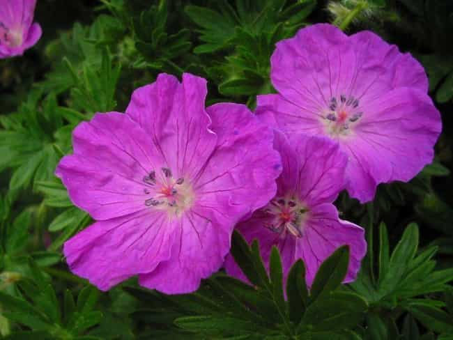 Geranium is listed (or ranked) 2 on the list The Best Essential Oils for OCD