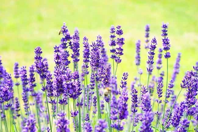 Lavender is listed (or ranked) 3 on the list The Best Essential Oils for OCD
