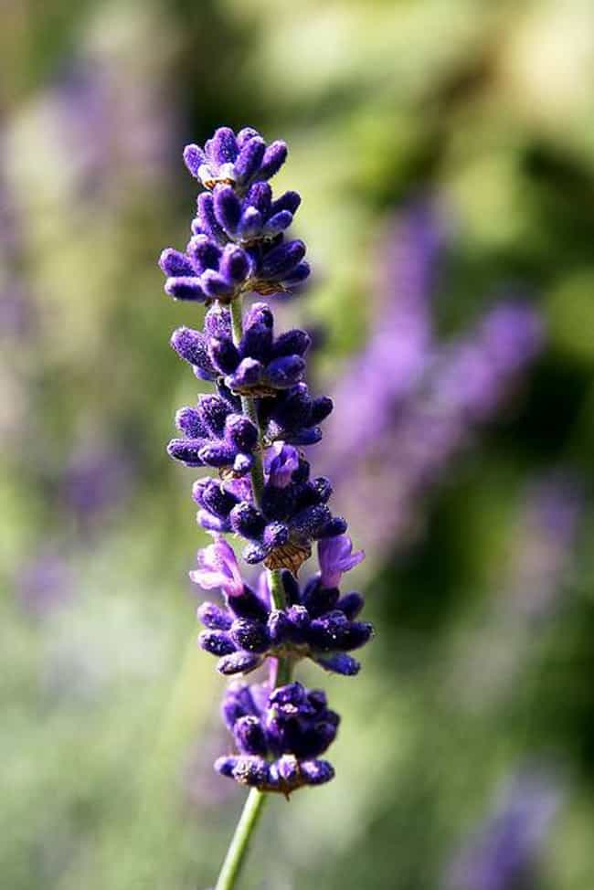 Lavender is listed (or ranked) 1 on the list The Best Essential Oils for Pregnancy