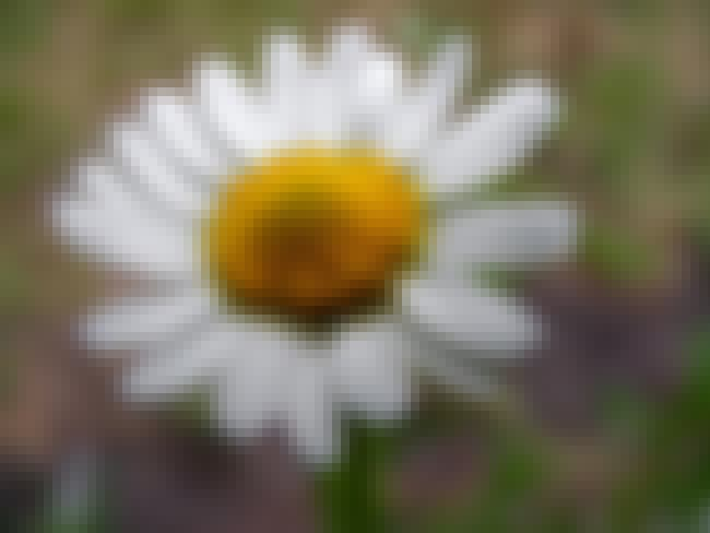 Chamomile is listed (or ranked) 3 on the list The Best Essential Oils for Rosacea