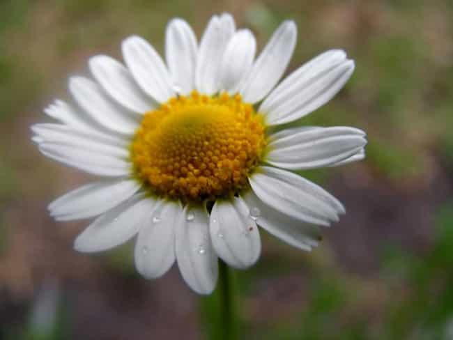Chamomile is listed (or ranked) 2 on the list The Best Essential Oils for Rosacea