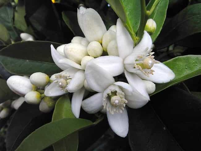 Neroli is listed (or ranked) 3 on the list The Best Essential Oils for Wrinkles