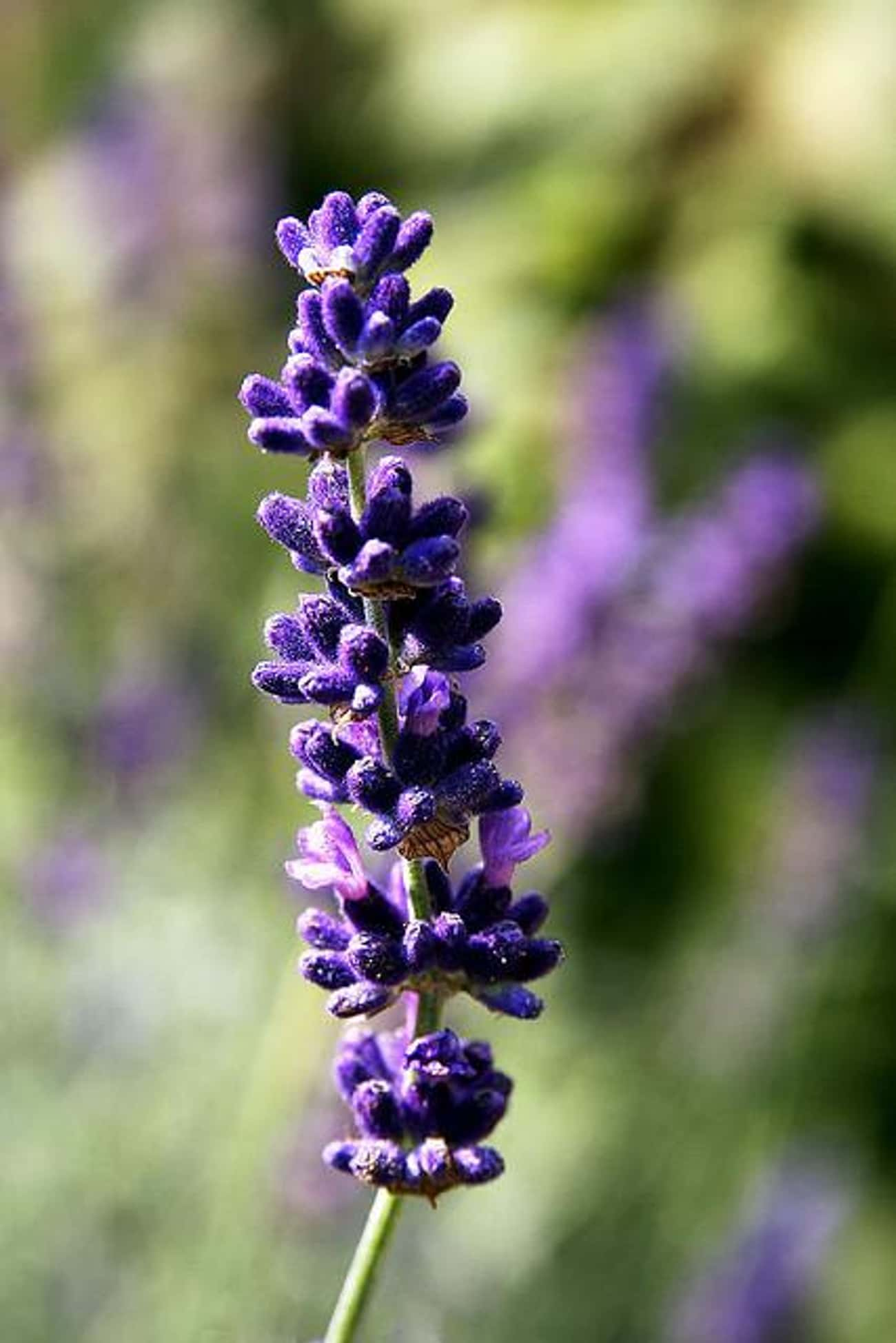 Lavender is listed (or ranked) 3 on the list The Best Essential Oils for Wrinkles
