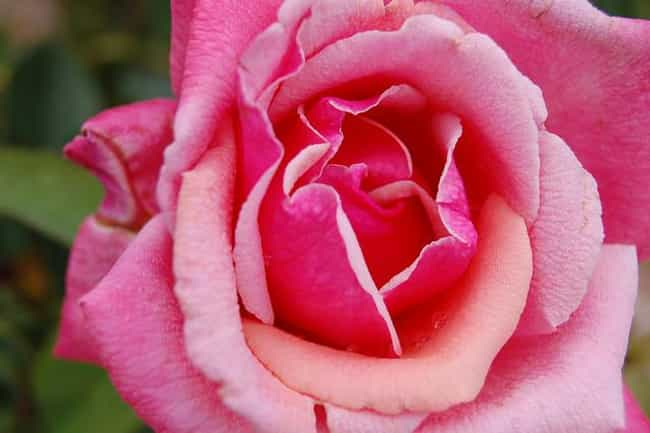 Rose is listed (or ranked) 2 on the list The Best Essential Oils for Wrinkles