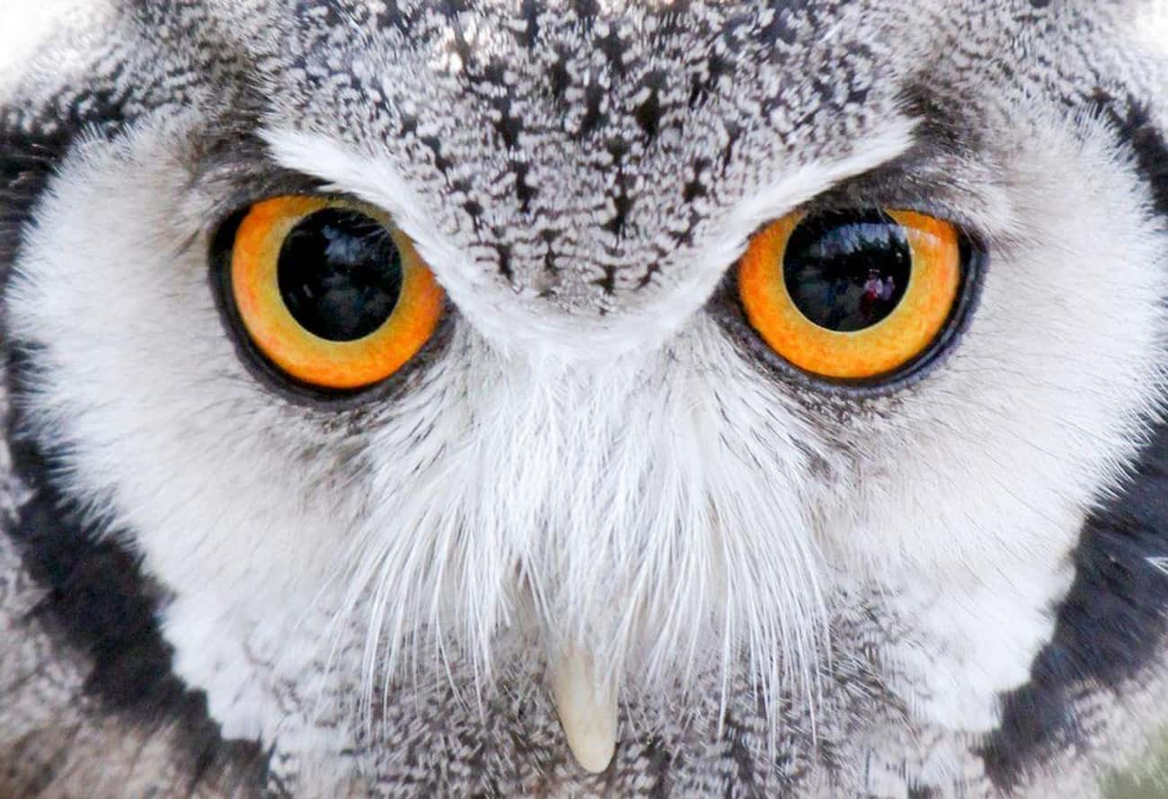 Whoooo Is That? It's An Ow is listed (or ranked) 1 on the list 21 Animals With Utterly Unique, Mesmerizing Eyes