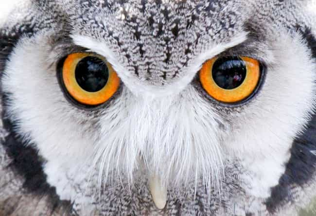 Whoooo Is That? It's An Ow... is listed (or ranked) 1 on the list 21 Animals With Utterly Unique, Mesmerizing Eyes