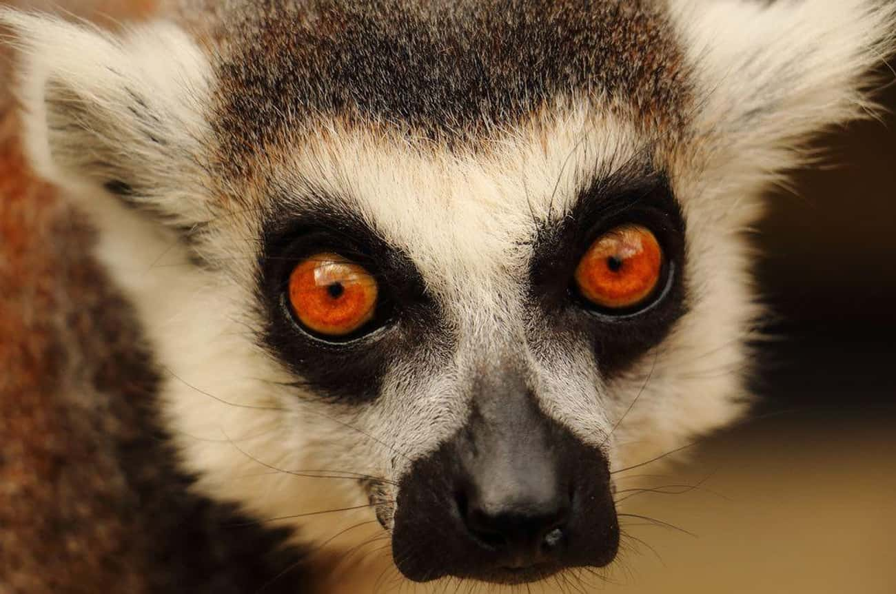 Lemur Eyes Are Beautiful And H is listed (or ranked) 4 on the list 21 Animals With Utterly Unique, Mesmerizing Eyes