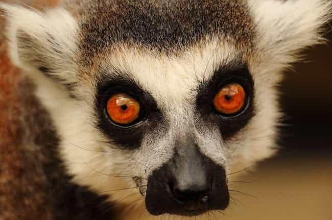 Lemur Eyes Are Beautiful And H... is listed (or ranked) 4 on the list 21 Animals With Utterly Unique, Mesmerizing Eyes