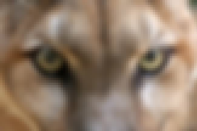 Cougar Are Watching You is listed (or ranked) 4 on the list 21 Animals With Utterly Unique, Mesmerizing Eyes