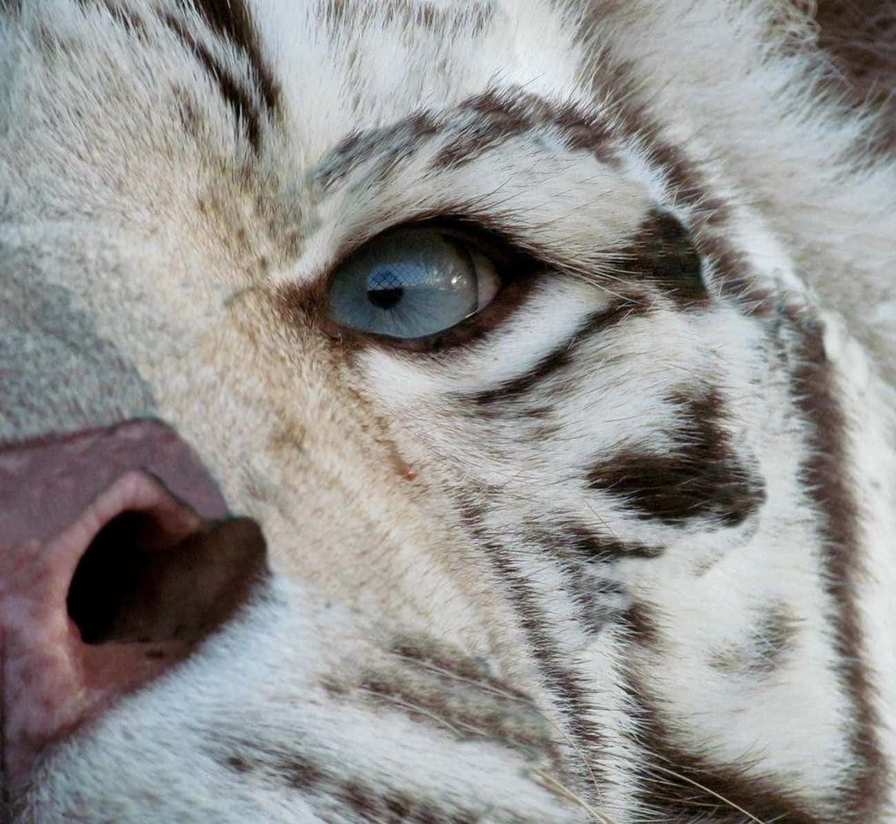 White Tigers Have Beautiful Bl is listed (or ranked) 3 on the list 21 Animals With Utterly Unique, Mesmerizing Eyes