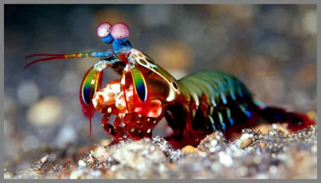 Mantis Shrimp is listed (or ranked) 4 on the list The Most Horrifying Defense Mechanisms of Adorable Animals