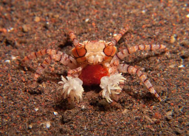 Boxer Crabs is listed (or ranked) 3 on the list The Most Horrifying Defense Mechanisms of Adorable Animals