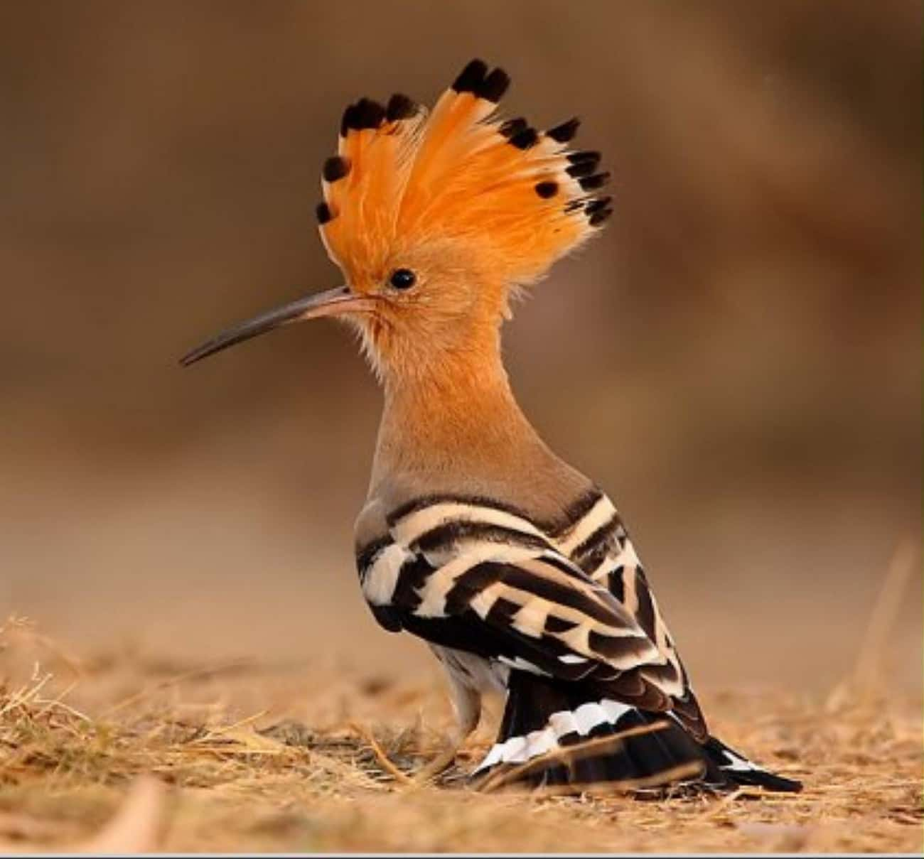 Noble Hoopoes is listed (or ranked) 3 on the list The Most Horrifying Defense Mechanisms of Adorable Animals