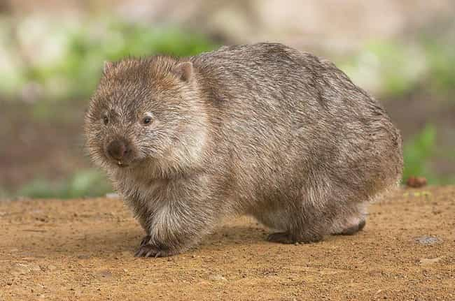 Wombats Have Square Poop is listed (or ranked) 4 on the list The Coolest Animals That Have the Most Unusual Abilities