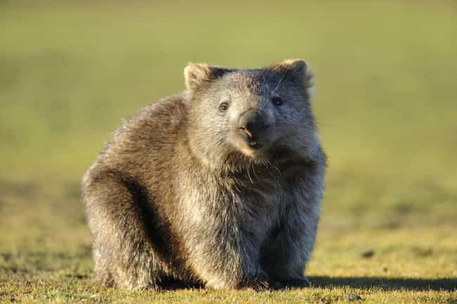 Wombats Have Square Poop is listed (or ranked) 3 on the list The Coolest Animals That Have the Most Unusual Abilities
