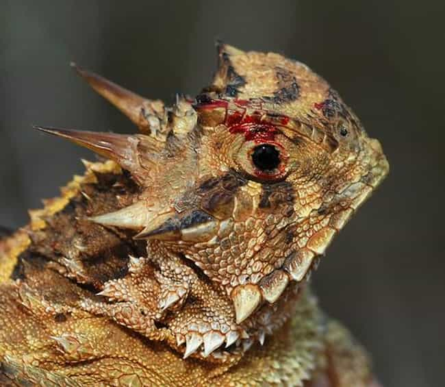 Horned Lizards Autohaemorrhage is listed (or ranked) 1 on the list The Coolest Animals That Have the Most Unusual Abilities