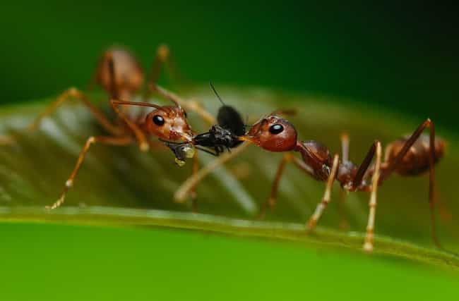 Malaysian Ants Will Explode is listed (or ranked) 3 on the list The Coolest Animals That Have the Most Unusual Abilities