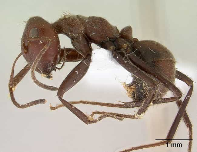 Malaysian Ants Will Explode is listed (or ranked) 4 on the list The Coolest Animals That Have the Most Unusual Abilities