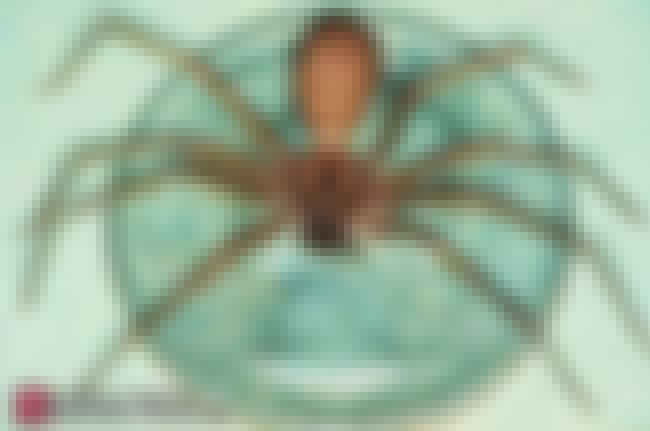 Adult Size Scale is listed (or ranked) 2 on the list The Best Pictures of the Brown Recluse Spider