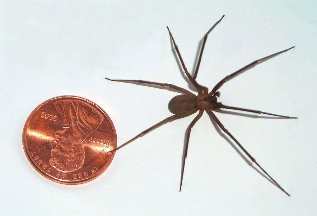 Adult Size Scale is listed (or ranked) 1 on the list The Best Pictures Of The Brown Recluse Spider