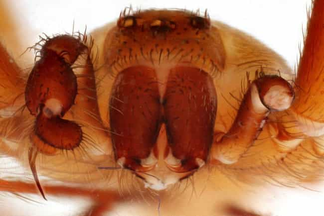 Close Up is listed (or ranked) 2 on the list The Best Pictures Of The Brown Recluse Spider