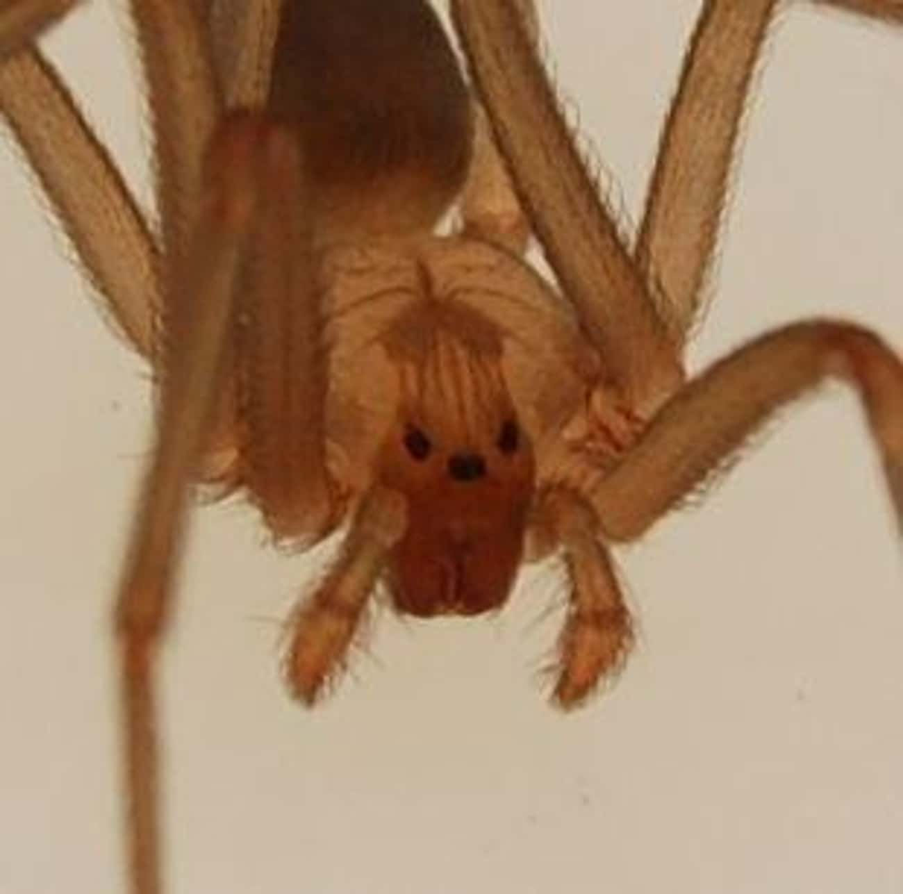 3 Pairs Of Eyes is listed (or ranked) 4 on the list The Best Pictures Of The Brown Recluse Spider