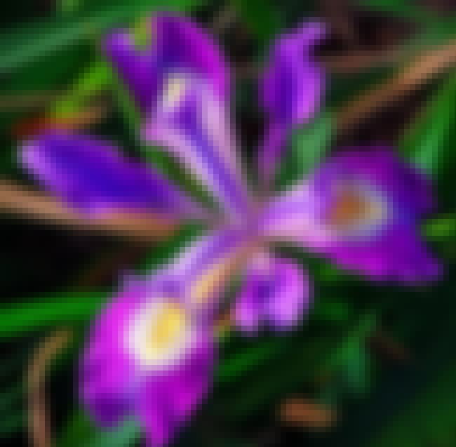 Irises is listed (or ranked) 4 on the list The Best Flower Pictures