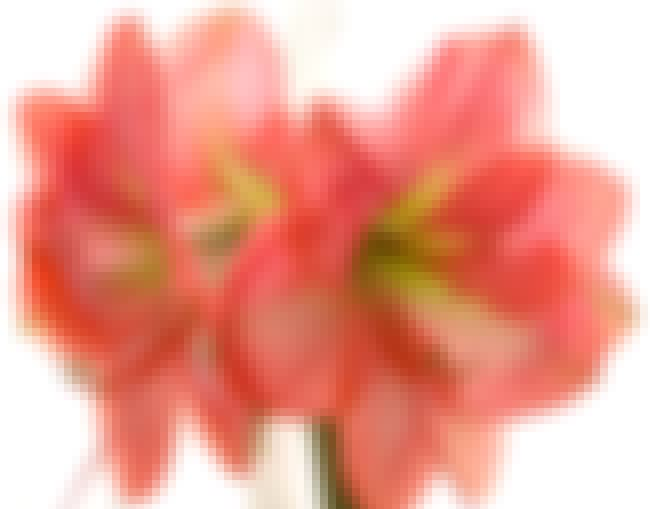 Amaryllis is listed (or ranked) 3 on the list The Best Flower Pictures