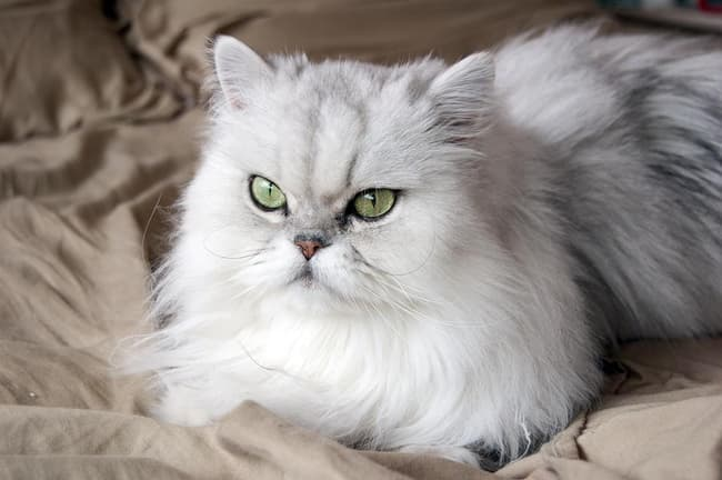Persian Is Listed Or Ranked 8 On The List The Best Long Haired Cat