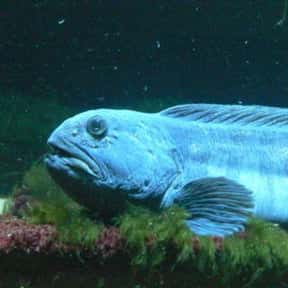 Wolf Fish is listed (or ranked) 11 on the list The Scariest Animals in the World
