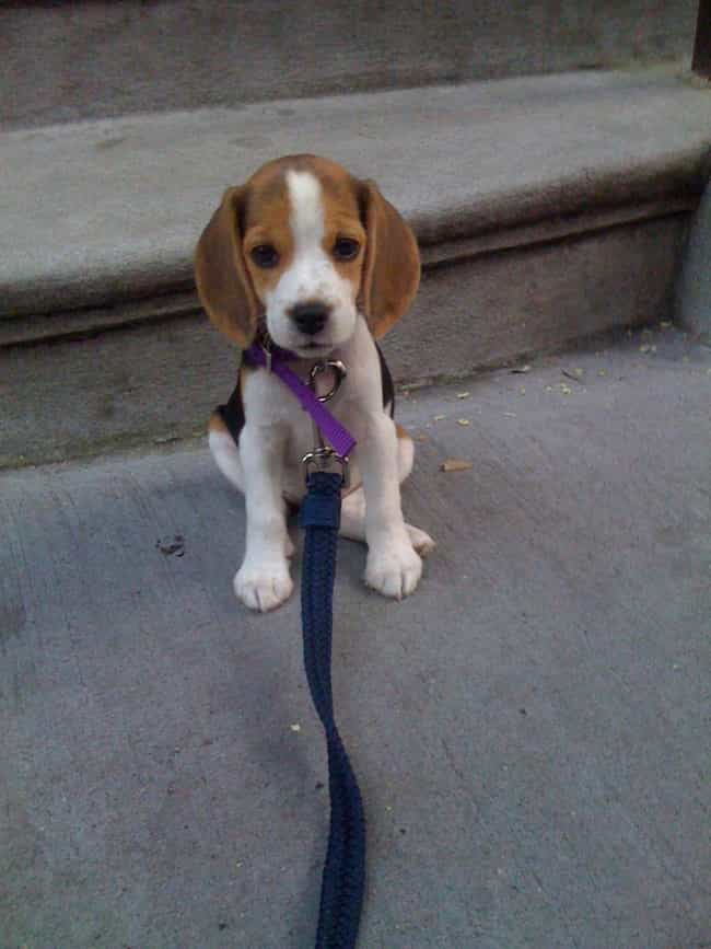 We Go for a Walk Now is listed (or ranked) 4 on the list The Cutest Beagle Pictures