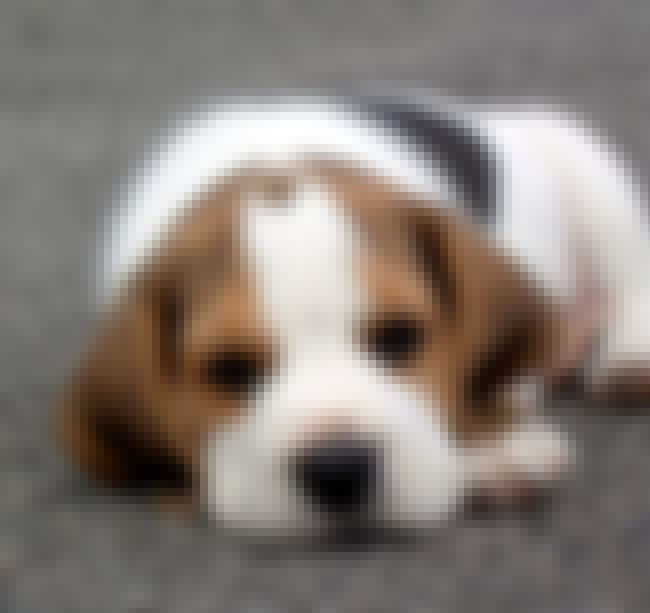 Ready for a Nap is listed (or ranked) 1 on the list The Cutest Beagle Pictures
