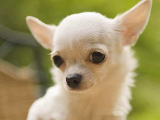 How Much Do You Love Me? is listed (or ranked) 3 on the list The Cutest Chihuahua Pictures