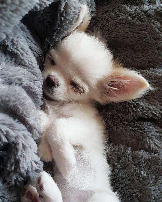 Random Cutest Chihuahua Pictures