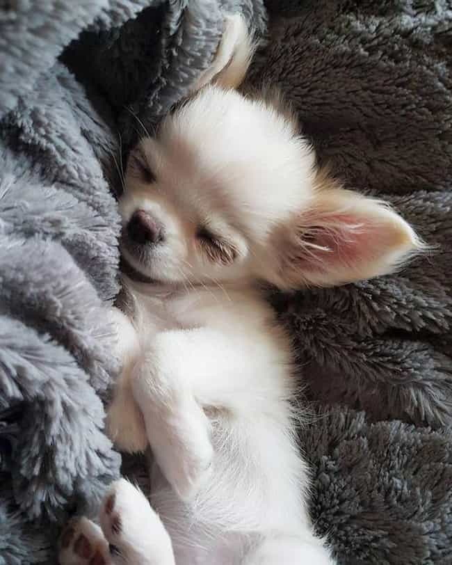 How Much Do You Love Me?... is listed (or ranked) 2 on the list The Cutest Chihuahua Pictures