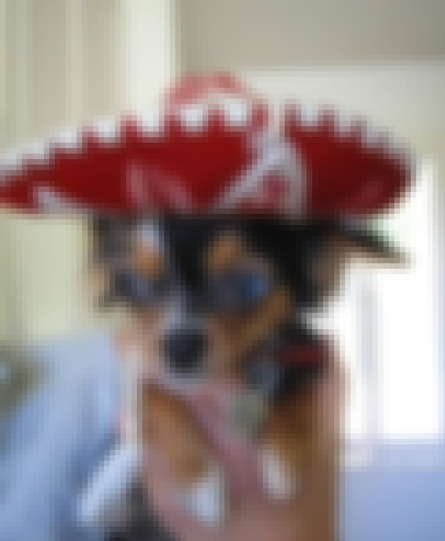 Stereotypes... is listed (or ranked) 1 on the list The Cutest Chihuahua Pictures