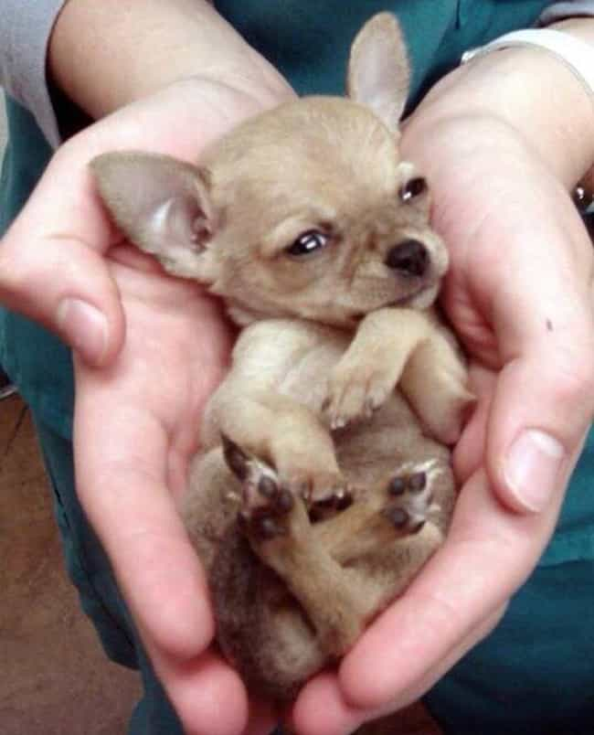 This'll Do is listed (or ranked) 3 on the list The Cutest Chihuahua Pictures