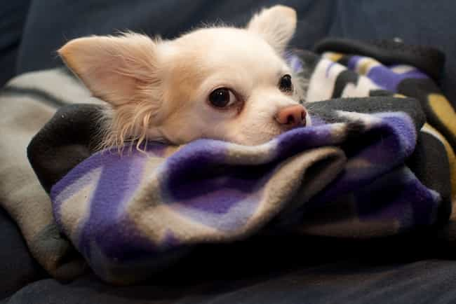 All Tucked In is listed (or ranked) 1 on the list The Cutest Long-Haired Chihuahua Pictures