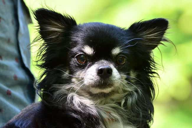Serious Pup is listed (or ranked) 4 on the list The Cutest Long-Haired Chihuahua Pictures