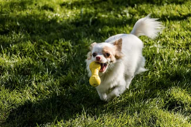 Speedy is listed (or ranked) 2 on the list The Cutest Long-Haired Chihuahua Pictures