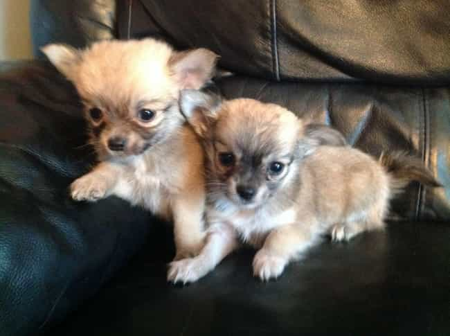 cutest long-haired chihuahua pictures