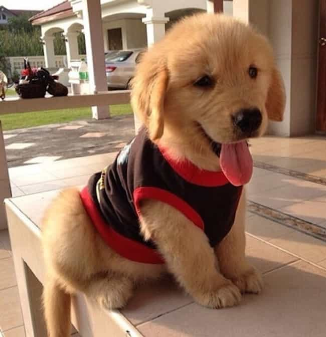 All Dressed Up is listed (or ranked) 4 on the list The Cutest Golden Retriever Pictures